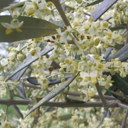 Composti Lemuria RILAXOLIV