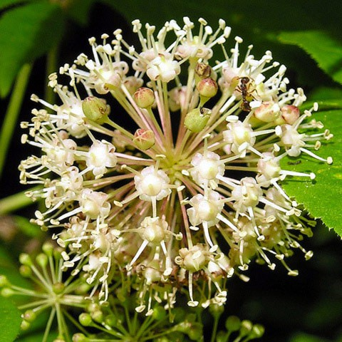HENERGA SPRINT Lemuria