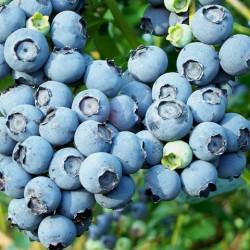 E.T. Blueberry