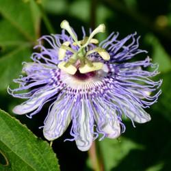 E.T. Passiflora